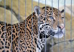 Jaguar (jpellgen) Tags: city summer usa chicago animals america cat zoo illinois nikon midwest downtown chitown september leopard jaguar tamron lincolnpark 18200mm 2013 kovlerlionhouse d3100