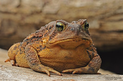 130915_0042-1 (Light Inspirations) Tags: american toad