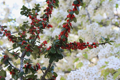 berry bokehing.... (Baja Juan) Tags: flowers plants wednesday garden botanical happy blurry texas berries dof bokeh baja hbw bokehd bokehing