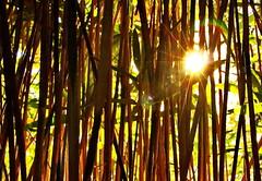 Bamboo (wolfsmoon-photography.de) Tags: bamboo