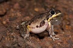 Pale Frog (Litoria pallida) (Gus McNab) Tags: pale frog pallida litoria
