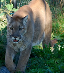 COUGAR ON THE PROWL. (vermillion$baby) Tags: animal cat cougar eye puma white lookingatyou closeup catf bigcats northamerican canadian wilderness inthewild