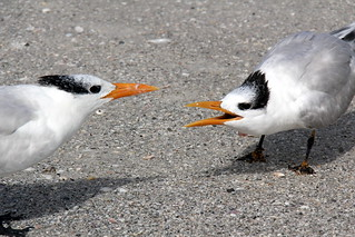 Royal Terns on Lido Beach, Sarasota (Florida)