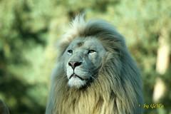 Weier Transvaal - Lwe (Geralds-Raubtiere) Tags: flickrbigcats transvaallwe safariparkzoostukenbrock