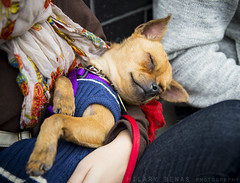 (hilbeans) Tags: nyc rescue dog ny brooklyn puppy foster williamsburg pup adopt badassbk