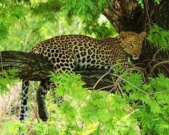 Resting Leopard Pilanesberg (X4Jon) Tags: africa wild cats nature animals fauna southafrica wildlife ngc naturalhistory climbing npc bigfive wwwflickr mygearandme ringexcellence blinkagain dblringexcellence top25naturesbeauty top25naturesbeautymasterpiecegallery x4jon wwwflickrcomphotosx4jon