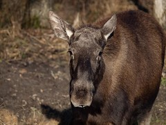 (katrin glaesmann) Tags: animal captured moose elch alcesalces eurasianelk wisentgehegespringe kindofzoo