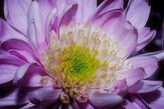 Chrysanthemum (Paul Sibley) Tags: flower photoaday nikond60 33365 3652014