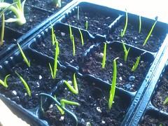 Asperrima u. Obscura (Kanonenschlag) Tags: sommer sonne obscura fensterbrett zimmerpflanze palmen sukkulente smlinge anzucht agaven quarzsand spargelgewchs asperrima kakteenerde