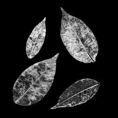 skeletal leaves scanogram (Janine Paris) Tags: blackandwhite bw white abstract black nature leaves square leaf natural scanner scan scanned minimalist photogram scannerart scannedobjects scanogra