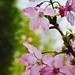 櫻, Cherry Bloosom