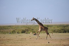 10070818 (wolfgangkaehler) Tags: africa kenya african wildlife running giraffe amboseli kenyan eastafrica galloping eastafrican giraffacamelopardalistippelskirchi masaigiraffe amboselinationalpark amboselikenya amboselinatlparkkenya