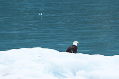 _MG_4531a (markbyzewski) Tags: bird alaska ugly iceberg glacierbaynationalpark