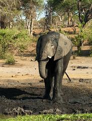 Elephant -mud shower (Bob Stronck) Tags: fauna botswana africanelephant bigfive loxodontaafricana chobenationalpark megafauna ©rmstronck stronckphotocom