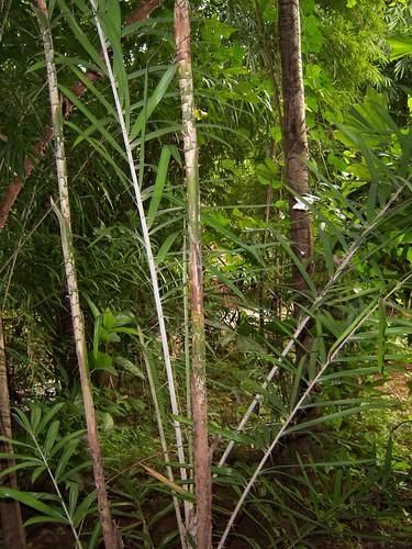 Calamus sp. Arecaceae Calamoideae-Rattan หวาย