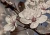 Spring has sprung .... (+Pattycake+) Tags: white tree spring blossom plum pattycake springhassprung floweringplum ornamentalplum springblossom ornamentaltree eos70d