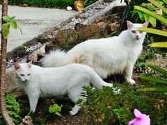 (angelmardi) Tags: gatos gatobranco angelamardi panasnicfz70