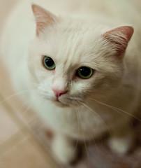 Musetta 2 (GiB) Tags: white animals cat gatto bianco animali micio animalidacompagnia gattobianco