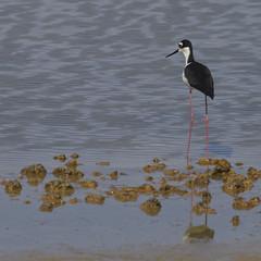 Black-necked Stilt (sam.crowther) Tags: bird birds blackneckedstilt florida miami birding wetlands greatshotdude whatschirping