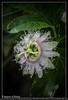 Fleur de fruits de la Passion (Francois el Bacha) Tags: fleur fruit fruitdelapassion