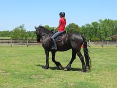 IMG_5517sm (Rawrosaur) Tags: horses horse equestrian equine friesian friesians