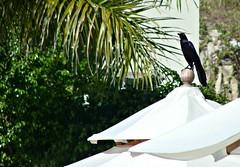 Watching (knightbefore_99) Tags: west tree bird eye mexico coast watching sunny playa grackle palm mexican oaxaca tropical secrets huatulco