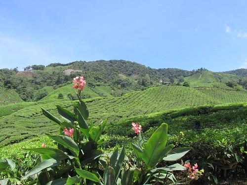 Thé, Cameron Highlands, Malaisie