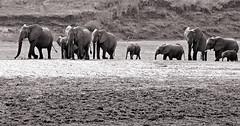 A Trek Of All Sizes (AnyMotion) Tags: africa travel blackandwhite bw panorama nature animal animals tiere reisen wildlife ngc natur afrika sw elephants zambia africanelephant 6d 2014 elefanten loxodontaafricana sambia anymotion afrikanischerelefant southluangwanationalpark luangwavalley canoneos6d luangwatal