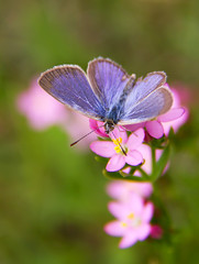 Little Butterfly (aussiegall) Tags: flowers butterfly bug insect native bluemountains