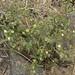whispering bells, Emmenanthe penduliflora
