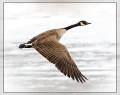 Searching for open water (tresed47) Tags: birds us geese pennsylvania ngc content places hibernia folder canadagoose takenby chestercounty 2015 peterscamera petersphotos canon7d 2015feb 20150216chestercountybirds
