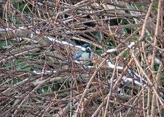 Spot the Great Tit (Daisy Waring World) Tags: snow greattit snowybranches