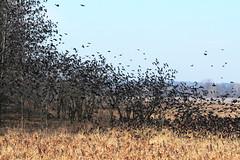 IMG_4319-1 Blackbirds (John Pohl2011) Tags: bird canon john 100400mm pohl perching t4i 100400mmlens canont4i
