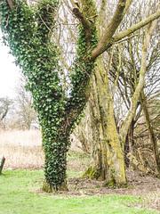 Ivy (juliekemp767) Tags: tree ivy lichen