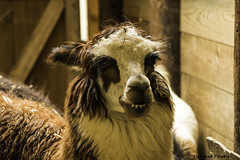 Smiling Lama (The Ant Photos) Tags: travel france eye nature smile animal nose teeth lama protection reportage biodiversity assigment conservationcenter