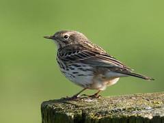 Meadow Pipit No. 12 - Wiesenpieper Nr. 12 (Joe) (Uli-Joe) Tags: green birds grn vgel songbird meadowpipit singvogel wildlifeanimal wiesenpieper achimermarsch wildlebendestier