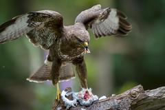 Incomming (Erik de Klerck) Tags: bird wings nikon wing prey buzzard common buteobuteo birdofprey vogel bif d800 400mm buteo buizerd commonbuzzard roofvogel 400mmf28