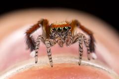 Saitis Barbipes (Little Boy 09) Tags: macro cute colors canon eos spider big jumping eyes venus flash 28mm pentacon reversed f28 oooo 60d kx800