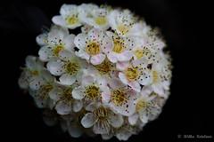 "Macro Mondays "" Anything goes"" (Jantje1972) Tags: macromondays anythinggoes macro mondays flowers fleur"
