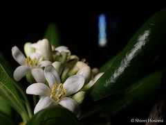 Pittosporum tobira (Shiori Hosomi) Tags: flowers plants japan night tokyo nocturnal nightshot may   pittosporum 2016   apiales pittosporaceae  noctuary  flowersinthenight noctivagant 23