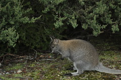 IMG_2359 (kunzhut) Tags: mountain lake st claire kangaroo wallaby tasmania tassie cradle