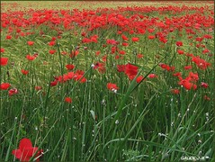 une arme de coquelicots 011 347 (jeanmauricegaude) Tags: france rouge paca luberon dauphin champ alpesdehauteprovence coquelicots