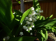 Lily Of The Valley (Mabacam) Tags: flowers white plant garden spring perfume scent poisonous lilyofthevalley 2016 poisonousplant convallariamajalis bellshaped