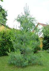 2016_jnius_2210 (emzepe) Tags: plant tree pine garden hungary jardin utca 37 otthon garten ungarn nvnyek udvar kert 2016 hongrie nyr nvny jnius n kertben feny udvaron hdmezvsrhely fenyfa bercsnyi nlunk selyemfeny