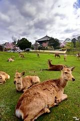On Rest! (Clonedbird  & Iris ) Tags:           japan nara sakura kyoto cherry blossom flower spring 2016 nikon d810     deer