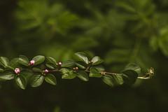 Branch (WillemijnB) Tags: pink flower green rose fleurs vintage groen branch dof bokeh vert depthoffield buds bloemen tak roze bloem branche knoppen knop boutons knopjes