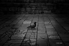 golub (DaliborMulc) Tags: walking town ngc croatia ibenik