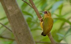 / White-browed Piculet / Sasia ochracea (bambusabird) Tags: birds animals forest thailand woodpecker nikon rainforest wildlife tropical chiangmai oriental piculet bambusabird