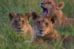It's too Early in the Morning for Some of Us (iamfisheye) Tags: male kenya lion pride 300mm f4 vr afs pf masaimara 2016 d7100 asilia rekerocamp nikond7100 tc14iii kenya2016 nik03