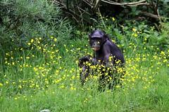 Bonobo (Kellyphotography__) Tags: wild black cute animal zoo monkey eyes wildlife great